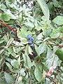 2018-09-12 Sloe berries (Prunus spinosa), Trimingham, Norfolk (1).JPG