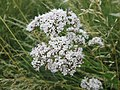 20180617Valeriana officinalis1.jpg