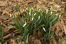 List of early spring flowers wikipedia galanthus mightylinksfo