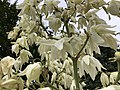 2019-06-12 07 56 51 Yucca flowers along Indale Court in the Franklin Farm section of Oak Hill, Fairfax County, Virginia.jpg