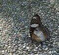 317雌紅紫蛺蝶4(游釗敏攝) (12944361443).jpg