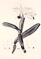 33 Cattleya labiata - John Lindley - Collectanea botanica (1821).jpg
