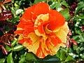 4491 - Bern - Rosengarten - Rose.JPG