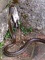 6 Aesculapian Snake in Tuscany Italy..jpg
