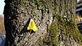 AL-D-0008 Platanus x acerifolia alley on Pigageallee, Benrath. Reader-19.jpg