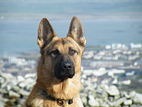 A Front Shot Of A German Shepherd.jpg