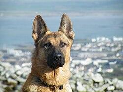 German Shepherd Dog Best Food