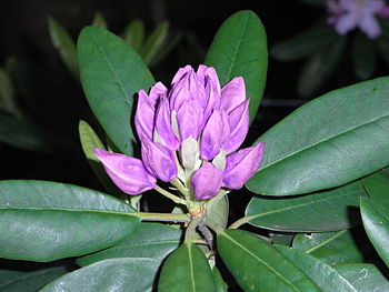 A Rhododendron buds wp uf.jpg