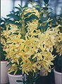 A and B Larsen orchids - Dendrobium nobile yellow 774-10.jpg