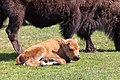 A bison calf naps while its mother grazes in Mammoth Hot Springs (46987619575).jpg