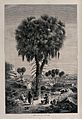 A doum palm tree (Hyphaene thebaica) in Nubia sheltering 3 p Wellcome V0043198.jpg