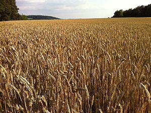 Common wheat - A field of wheat in Deggendorf, Germany