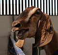A goat at Colgate West Sussex England 02.JPG
