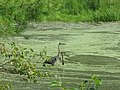 A great blue heron in a pond at Frances Slocum Park in Luzerne County, Pennsylvania.jpg