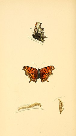 A history of British butterflies BHL14821239.jpg
