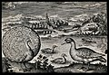 A peacock and goose set in natural surroundings. Etching by Wellcome V0022757.jpg