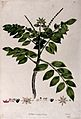 A plant (Brucea species); flowering stem with floral segment Wellcome V0043101.jpg