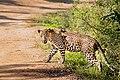 A watchful leopard.jpg