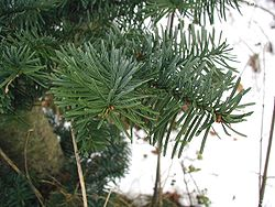 Abies-procera-needles.jpg