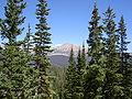 Abies lasiocarpa bifolia Picea engelmannii2.jpg
