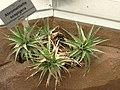 Abromeitiella scapigera - Berlin Botanical Garden - IMG 8730.JPG