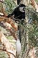 Abyssinian black-and-white colobus (Colobus guereza guereza) juvenile female.jpg