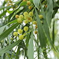 Acacia retinodes-IMG 4384.jpg