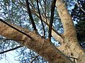 Acacia xanthophloea branches.JPG
