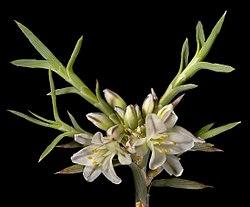 Acanthocarpus canaliculatus - Flickr - Kevin Thiele (1).jpg