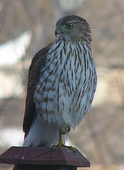 Accipiter on fence.jpg