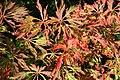 Acer japonicum 'Green Cascade' JPG1.jpg