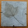 Acer patens - Redpath Museum - McGill University - Montreal, Canada - DSC07828.jpg