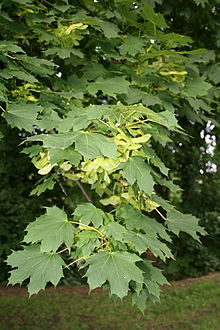 Norway Maple Acer Platanoides Details Encyclopedia Of Life - Norway maple uses