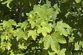 Acer pseudoplatanus sabliere-morriere-plailly 60 01072008 01.jpg