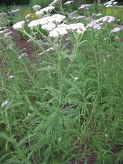 Achillea millefolium habito