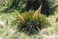 Aciphylla aurea kz13.jpg