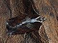 Acleris hastiana - Плоская листовёртка изменчивая (27462191968).jpg