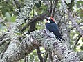 Acorn Woodpecker (27995018764).jpg