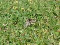 Acraea andromacha 1.jpg