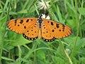 Acraea violae 5391535.jpg