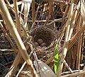 Acrocephalus arundinaceus nest.jpg