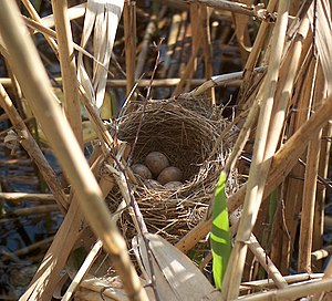Bird nest - Deep cup nest of the Great Reed-warbler