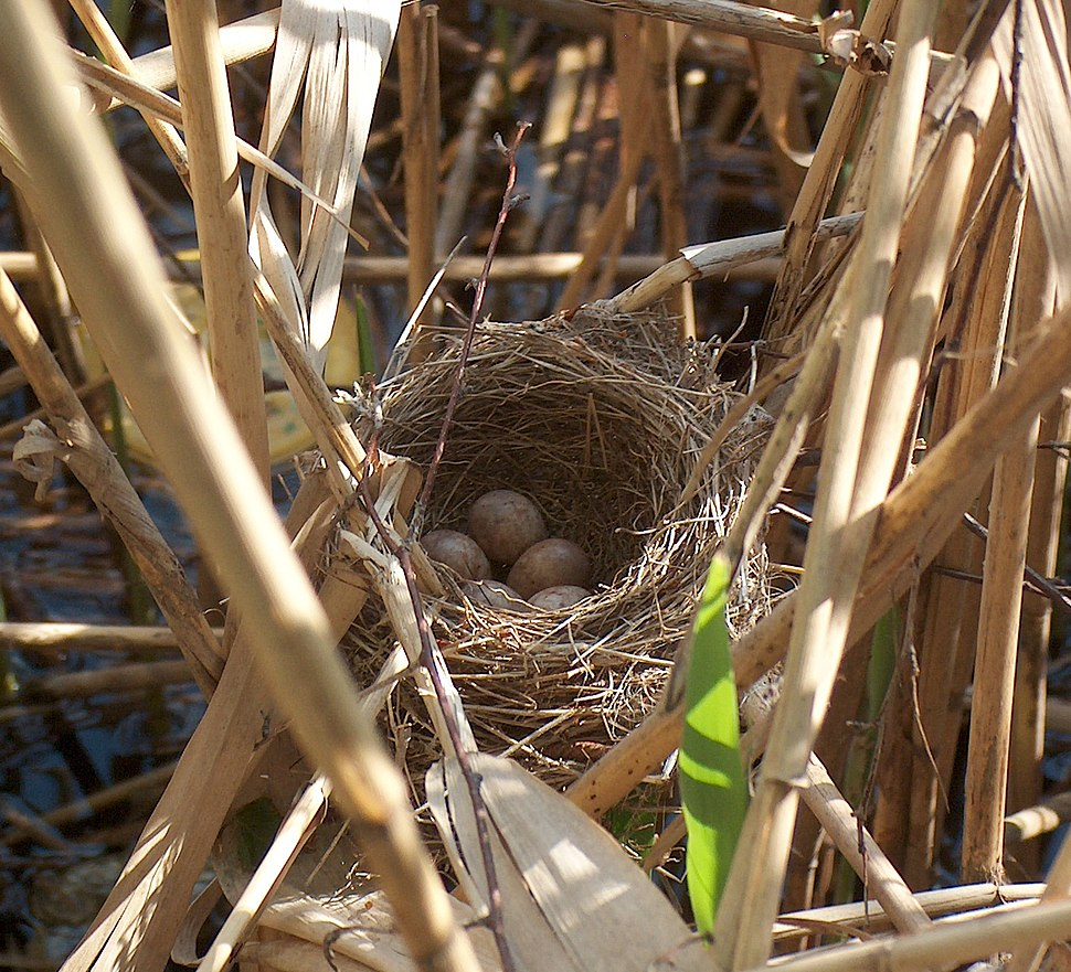 Acrocephalus arundinaceus nest