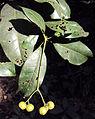 Acronychia pedunculata 10.JPG