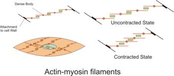 Актина миозин filaments.png