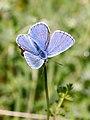 Adonis Blue (37042019445).jpg