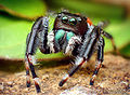 Adult Male Phidippus clarus Jumping Spider.jpg