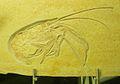 Aeger elegans.jpg