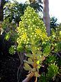 Aeonium arboreum 1c.JPG