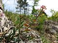 Aethionema saxatile (s. str.) sl12.jpg